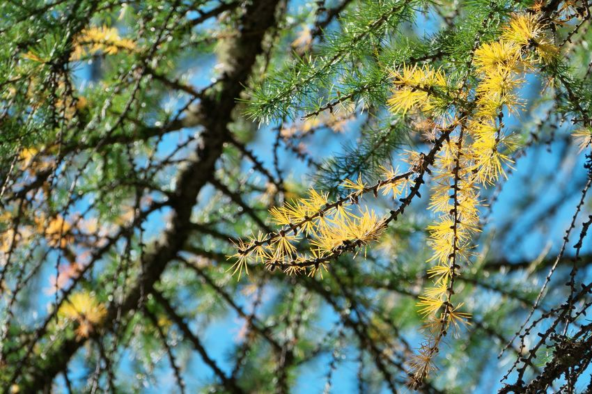Autumn Beauty In Nature Branch Change Close-up Coniferous Tree Day Directly Below Focus On Foreground Growth Leaf Low Angle View Nature No People Outdoors Pine Tree Plant Plant Part Selective Focus Sky Tranquility Tree Yellow