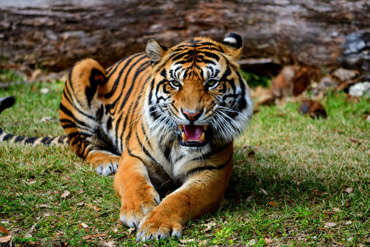 Gowling tiger Tiger Big Cat Animal Themes Animal Zoo The Great Outdoors - 2017 EyeEm Awards