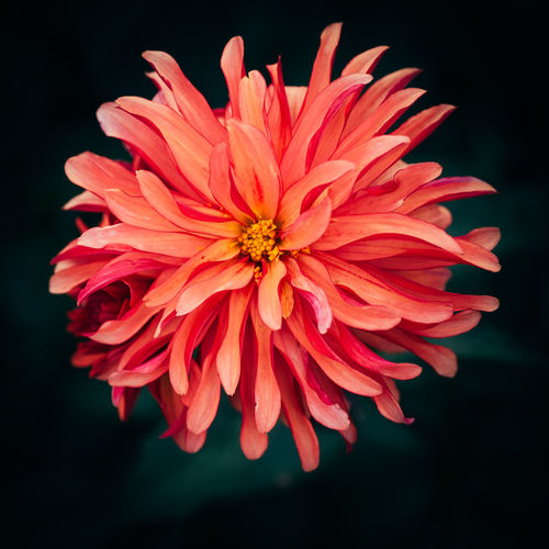 Close-up of flower blooming against black background