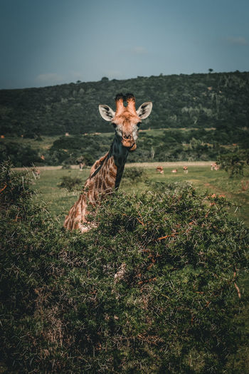 Portrait of giraffe on field
