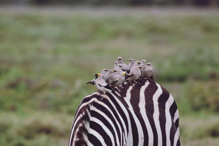 Wattled Starlings On Zebra
