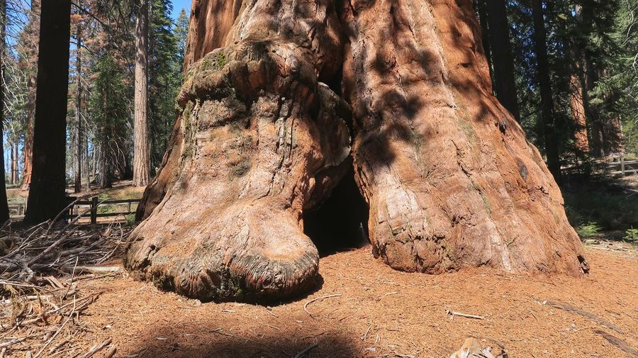 Base of a giant Sequoia tree in Sequoia National Park Sequoia Tree EyeEm Selects Sunlight Nature Tree Land Day Low Section Outdoors Plant