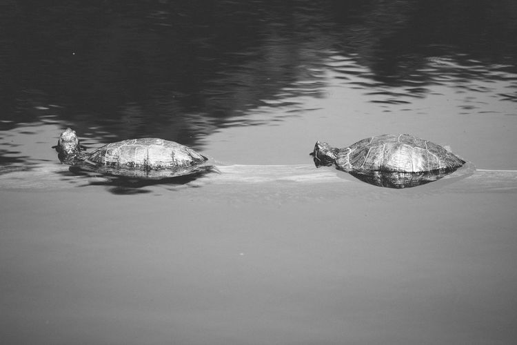Black & White Black And White Couples Reptiles Sunbathing Turtle Love Turtles Turtoise Two Water