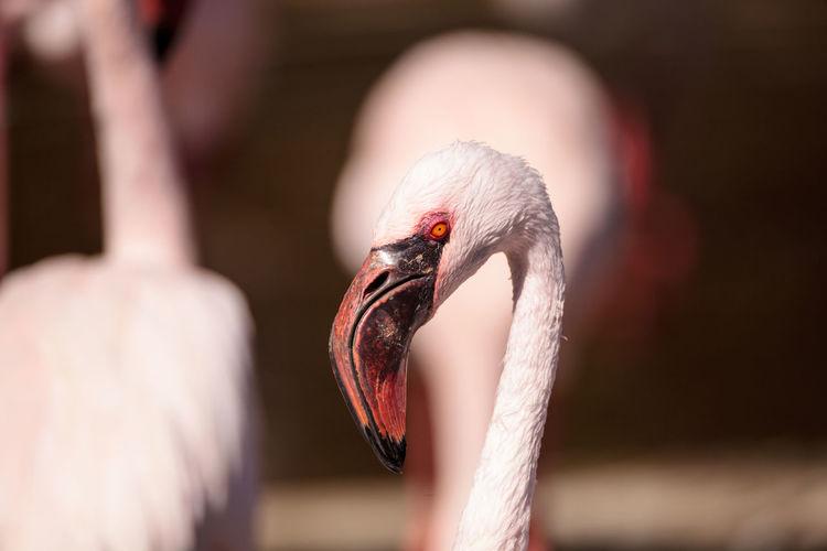 Pink lesser flamingo, Phoeniconaias minor, in the middle of a flock in India Flamingo India Lesser Flamingo Phoeniconaias Minor Pink Flamingo Animal Avian Bird Feather  Hooked Beak Pink Bird Pink Eye Red Eye Tropical Climate Waterfowl Wild Bird Wildbird Wildlife