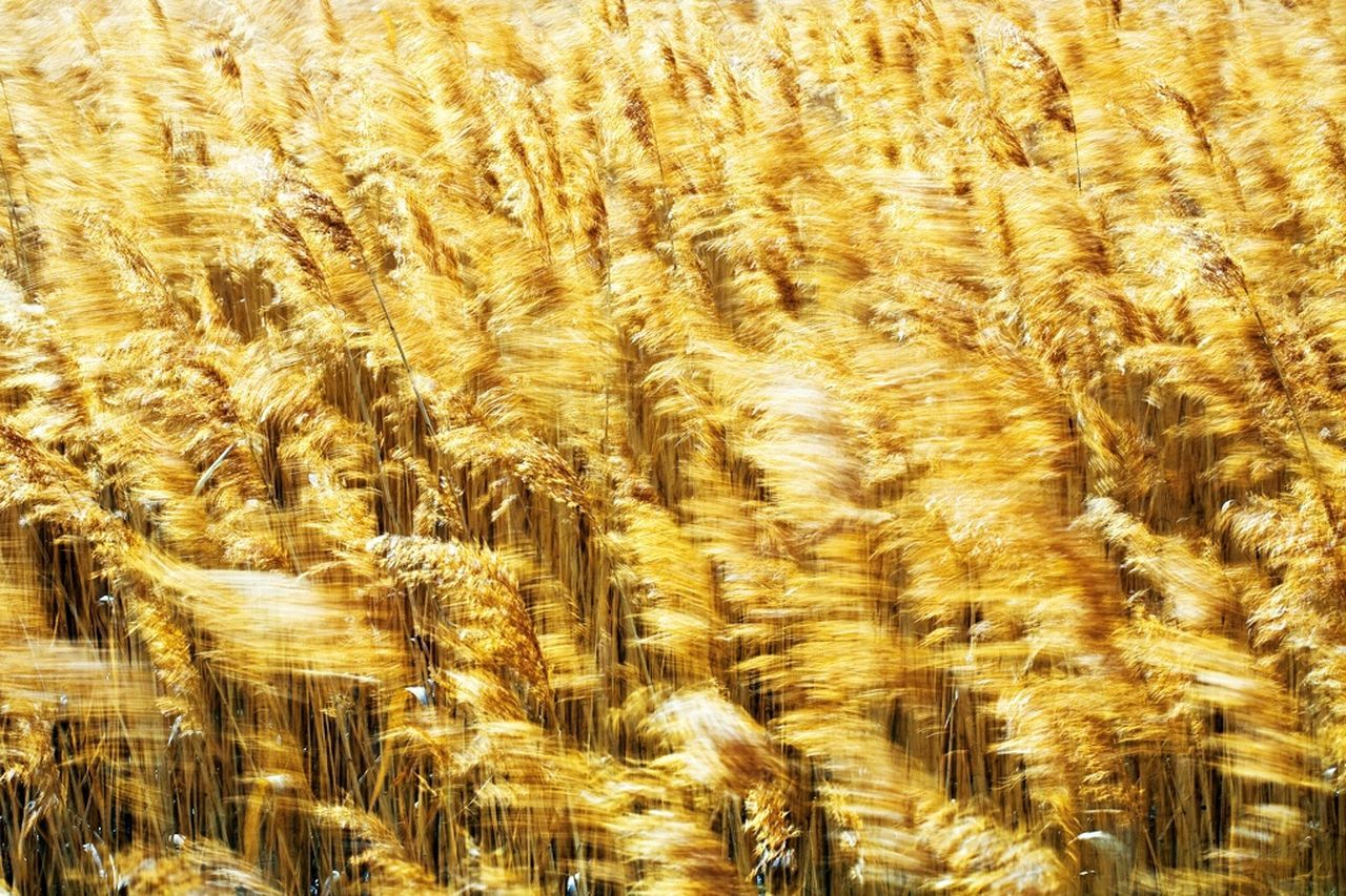full frame, backgrounds, no people, agriculture, nature, growth, close-up, day, outdoors