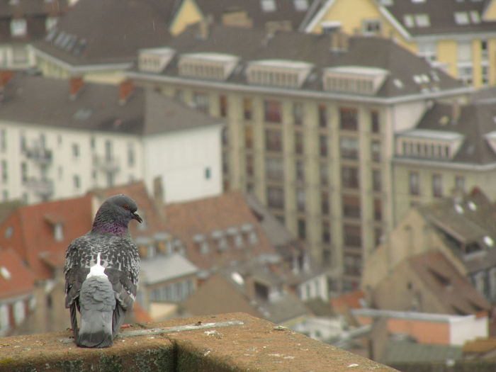 pigeon on the top of the cathedrale Animal Animal Themes Animal Wildlife Animals In The Wild Architecture Bird Building Building Exterior Built Structure City Day Focus On Foreground Nature No People One Animal Outdoors Perching Pigeon Roof TOWNSCAPE Vertebrate