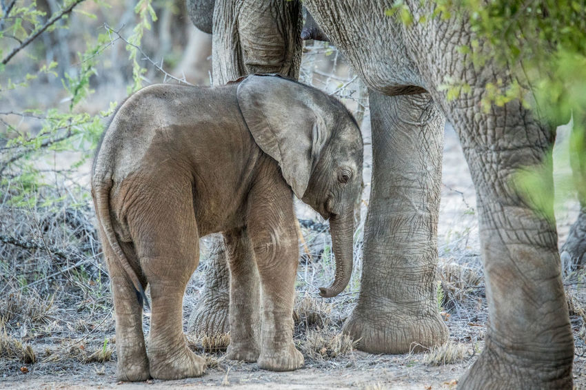 Baby Elephant in between the legs of his mother in the Kruger National Park, South Africa. Animals In The Wild Beautiful Nature Endangered Species Nature Nature Photography Travel Wild Animal Wildlife & Nature Wildlife Photography Africa African Elephant Animal Animal Themes Animal Wildlife Beauty In Nature Big Five Elephant Elephant Calf Elephants Gentle Giant Mammal Safari Safari Animals Wildlife Wildlifephotography