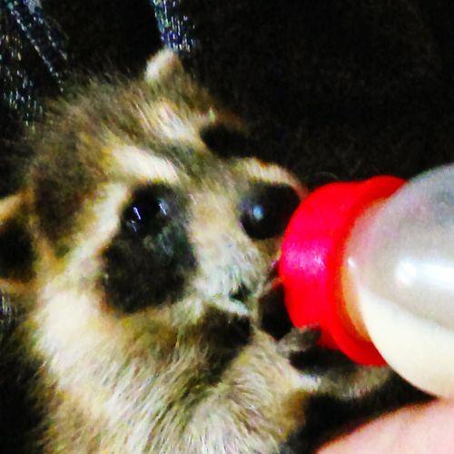 My friends pet baby raccoon drinking milk Babyraccoon Raccoon