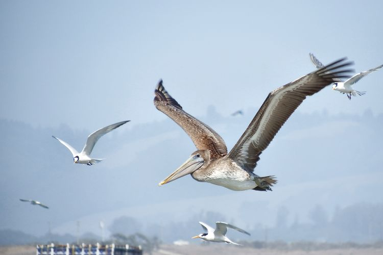 Low angle view of pelican and seagulls flying against sky