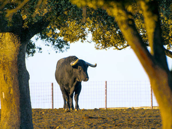 Dangerous Animals Encina Livestock Nobility Power Alertness Animal Themes Black Bull Bullfighting Cattle Danger Dehesa Domestic Animals Full Length Holm Oak Horned Mammal Nature Pasture, Paddock, Grassland, Pastureland Powerful Animals Rural Scene Toro Toro Bravo Toros Toros Bravos The Week On EyeEm