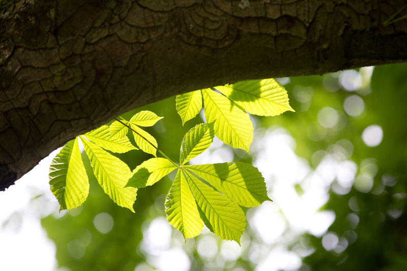 Beauty In Nature Blurred Background Bokeh Branch Buckeye Tree Close-up Day Focus On Foreground Green Color Growth Leaf Leaf Vein Leaves Nature No People Outdoors Plant Plant Part Selective Focus Sunlight Tree Tree Trunk Trunk