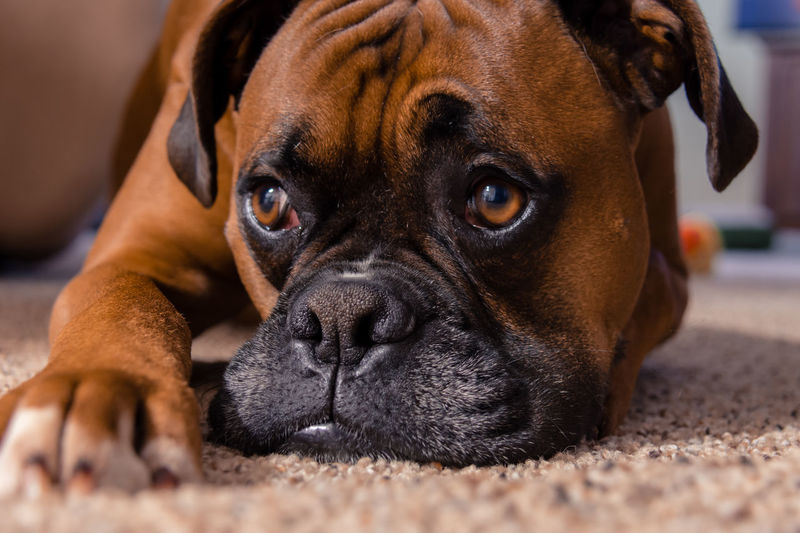 Close-up of Boxer Adorable Animal Animal Body Part Animal Head  Boxer - Dog, Brown Canine Close-up Cute Dog Domestic Animals Focus On Foreground Lying Down Mammal Mans Best Friend No People One Animal Pets Portrait Puppy Purebread Dog Relaxation Resting Staring Pet Portraits Pet Portraits