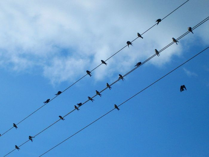 Sadly I am not familiar with music grammar to sing this beautirul melody which they composed. Birds In The Sky Birds On Wire Cable Cloud - Sky In A Row Looking Up Low Angle View Many Birds Melody Side By Side Sky Swallows Beauty In Nature Golondrinas Golondrinas On Cable Home Is Where The Art Is Colour Palette Birds Eye View
