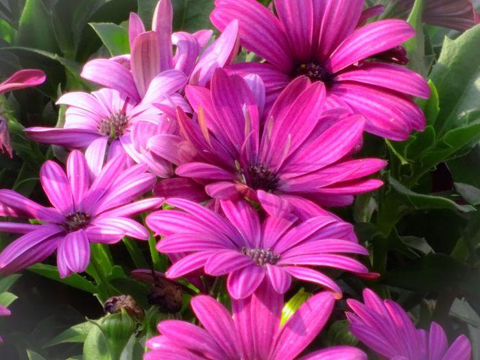 Flower Head Flower Eastern Purple Coneflower Pink Color Petal Osteospermum Close-up Plant