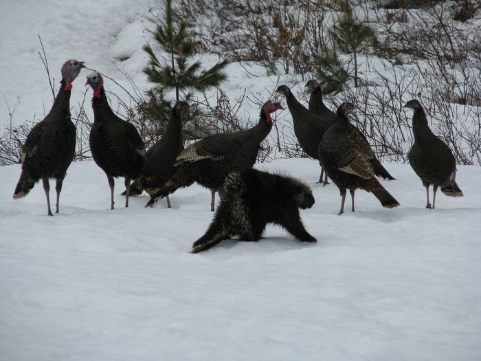 Turkeys perching on snow covered field