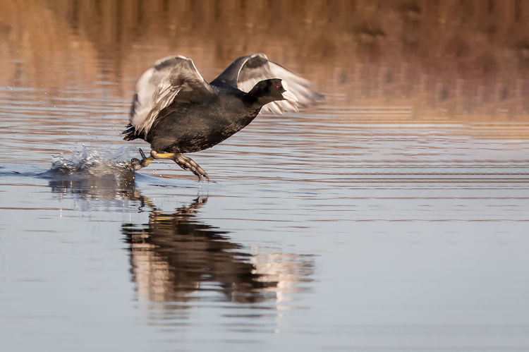Coot running across water Bird Animal Themes Animal Vertebrate One Animal Water Animal Wildlife Animals In The Wild Lake Reflection Waterfront Water Bird No People Day Nature Poultry Motion Outdoors Coot Running On Lake RSPB Lodmoor