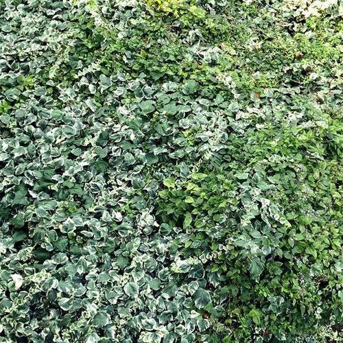 🌿 Edera Plant Green Allgreen Ivy Fall Autun Autumn Naturegram Naturelovers Nature Natura Likeforlike Marche Italia Italy Igersmarche Igersitalia Igeurope Leaf Leaves Landscape