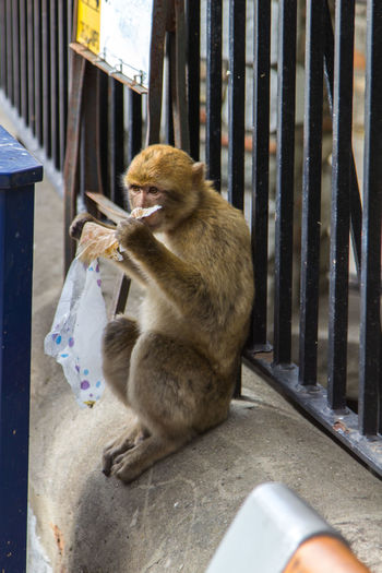 Eating Eating Trash Junk Food Macaque Macaque Monkey Monkey Monkey In Town Monkeys Nature Primate Showcase March Sitting Adapted To The City End Plastic Pollution