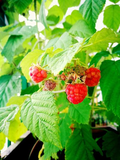 raspberries Fruit Plants Lampone Raspberries Tree Fruit Leaf Red Close-up Plant Green Color Food And Drink Growing Rowanberry Berry Fruit