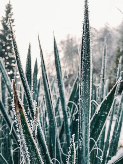 Ice Green Aloe Vera Aloe Freezing Frozen Nature Frozen Iced Ice Plant Nature Growth Beauty In Nature No People Close-up Focus On Foreground Day Tranquility Cold Temperature Succulent Plant Winter Outdoors Field Selective Focus Plant Stem Snow Cactus Water Blade Of Grass