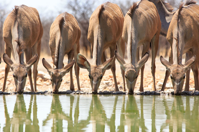 Kudu drinking from a waterhole with reflection Animal Themes Animals In The Wild Mammal Namibia Ongava Safari Animals Standing Water Reflections Wildlife
