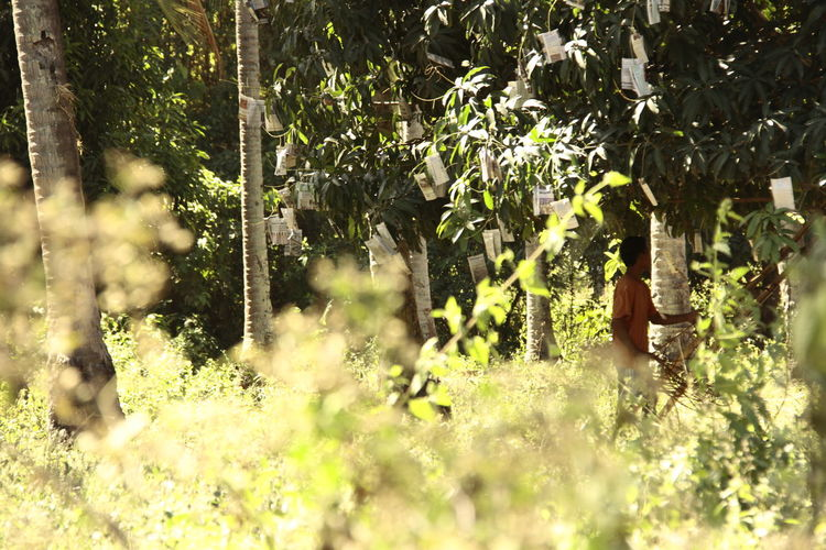 Country Life Country Men Country Road Countryside Jungle Mango Mango Orchard Mango Tree Harvest Mango Trees Philippines