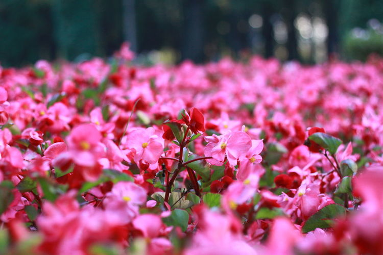 Close-up of pink flowering plants in park