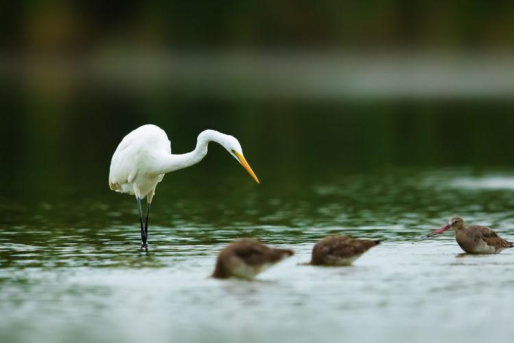 白鹭分为大白鹭、中白鹭和小白鹭三