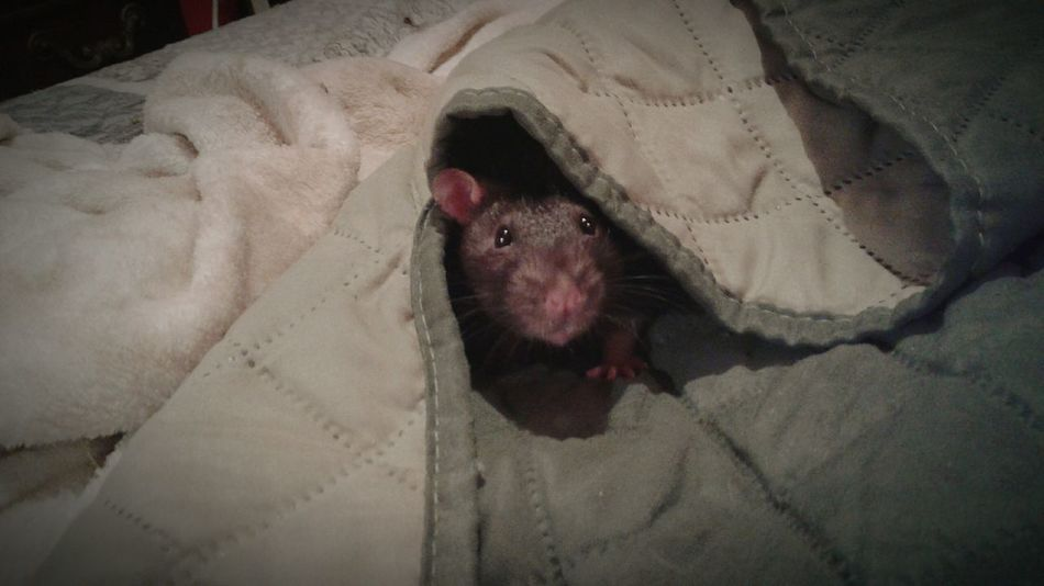 One Animal Animal Head  Pets Indoors  Pet Rat