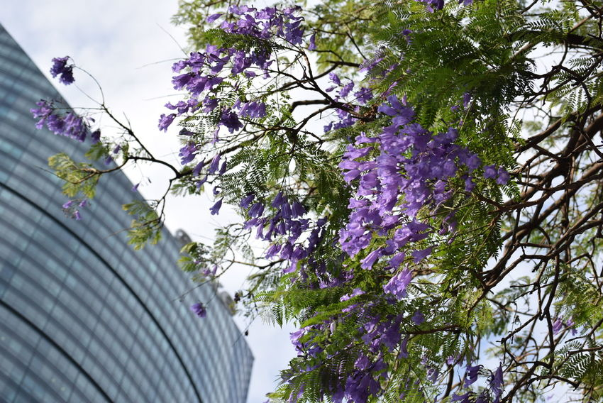 Urban spring Architecture Beauty In Nature Blooming Blossom Blue Branch Building Building Exterior Built Structure Day Flower Fragility Freshness Growth Low Angle View Nature Outdoors Pastel Power Purple Spring Tree Urban Nature Urban Spring Fever Urbanphotography
