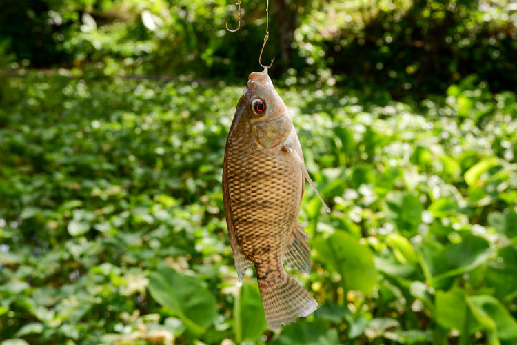 Close-up of fish hanging from plant