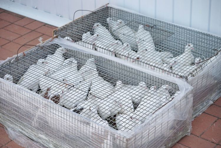 High angle view of doves in cages on footpath
