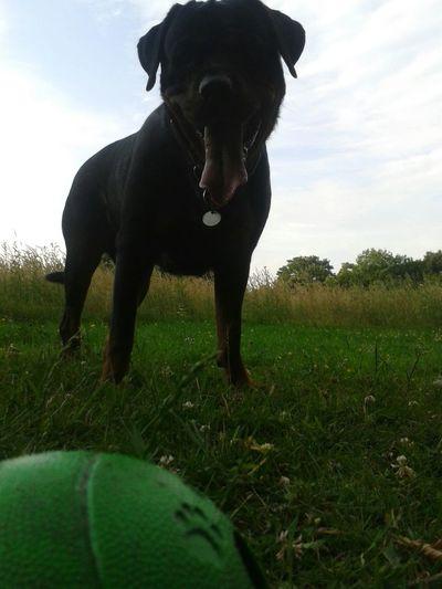 FREYA - Tongueouttuesday ! Hunde Dog❤ So Schön! ♡ kopf frei, kriegt man am besten unterwegs an der frischen Luft! ! Hunderunde My Dogs Are Cooler Than Your Kids From My Point Of View Rottweiler EyeEm Dog Lover