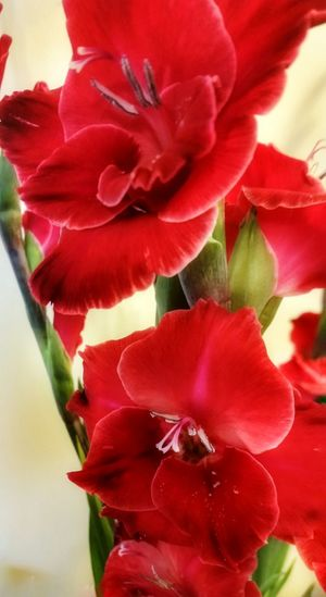 Scarlet red Gladiolus - Beauty In Nature, Beautyineverydaythings Scarlet Flower, Sword_like Honor And Remembrance
