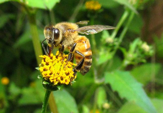 Bee Beesofeyeem Bee On The Flower Pollen Insects  Macro Insects Insect Photography Macro_collection Macro Yellow Flower
