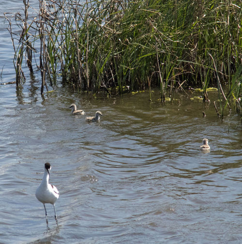 Avocet with