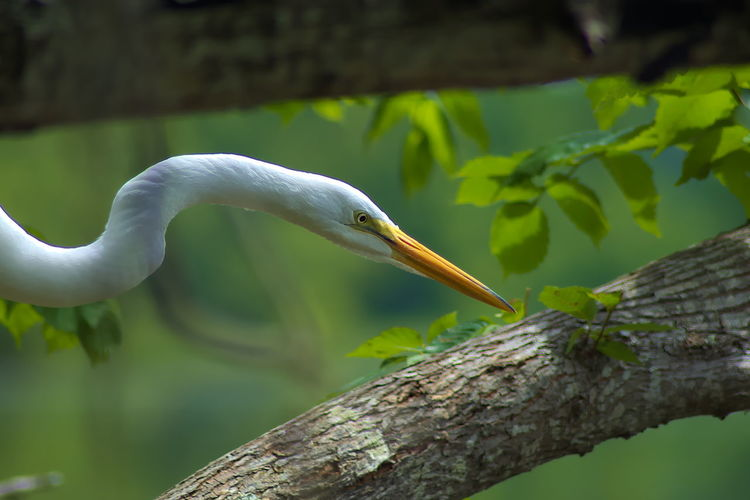 Animal Themes Animal Wildlife Animals In The Wild Beak Beauty In Nature Bird Close-up Day Focus On Foreground Great Egret Nature No People One Animal Outdoors Perching Plant Tree