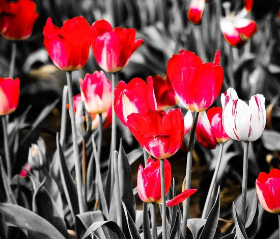 The Week On EyeEm Tulips Selective Focusing Selective Red Red Tulips Of The PNW WAState Flowers Pnwnaturescapes Pnwcollective Black On Red Selective Color Red Flowerporn Beauty In Nature Fragility My Photography EyeEm Flowers Collection Summer 2017 Collection Pnwisbest