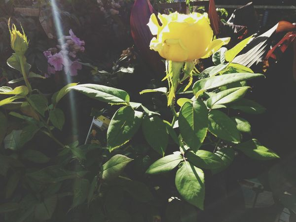 Dawn breaks Floweron the Yellow Rose Nature Plant Leaf Yellow Growth Fragility Beauty In Nature Freshness Close-up Petal Flower Head Green Color No People Outdoors Day