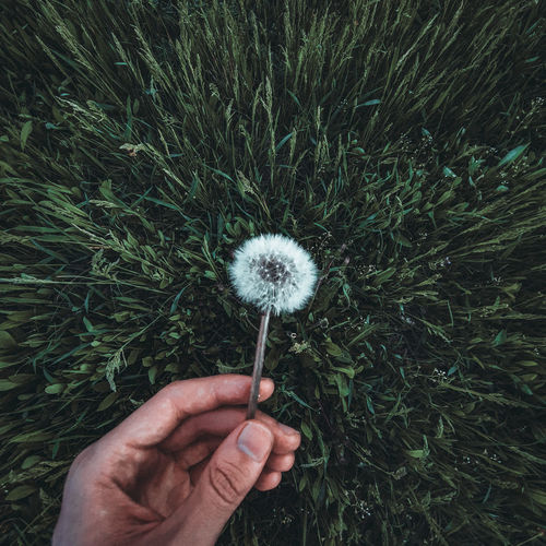 Close-up of hand holding dandelion flower