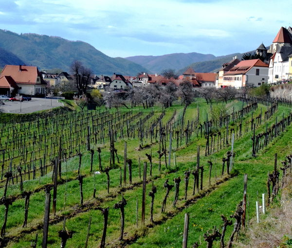 Wineyard. Austria Wachau Agricultural Land Agriculture Built Structure Crop  Environment Farm Field Growth Land Landscape Mountain Mountain Range Nature No People Outdoors Plant Plantation Rural Landscape Rural Scene Sky Vineyard Wine Fields Winemaking