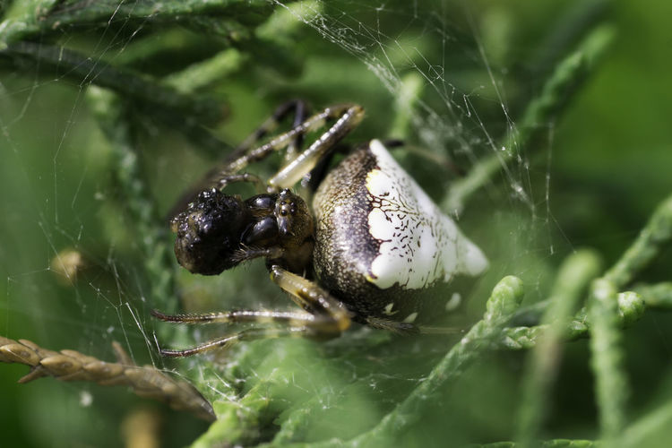 Triangle-bearing orbweavers are truly beautiful spiders. Orbweaver Spider Nature Close-up Macro Photography Eating Animal Wildlife Insect