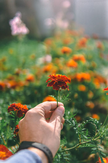 flower in the hand Human Hand Flower Head Flower Holding Child Close-up Plant Black-eyed Susan Poppy Zinnia  Plant Life Horticulture Wildflower Flowering Plant Uncultivated Botanical Garden Blossom Dandelion Seed Stem Botany Tropical Flower Dandelion Ho Chi Minh City Prickly Pear Cactus Single Flower Apple Blossom Pistil Daisy Crocus Plant Nursery A New Beginning EyeEmNewHere