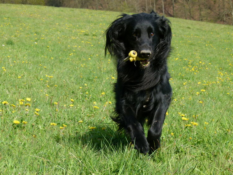 Dog Grass Pets Black Color One Animal Domestic Animals Animal Themes Outdoors No People Sitting Mammal Day Nature The Great Outdoors - 2017 EyeEm Awards Dogs Of EyeEm Flat Coated Retriever Doglover Dogoftheday Dog Photography
