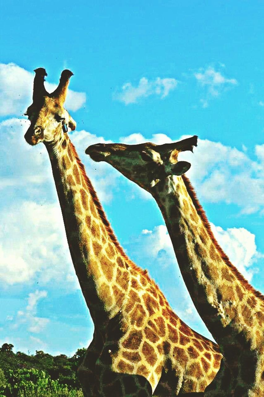 giraffe, animals in the wild, one animal, animal themes, animal wildlife, sky, day, no people, cloud - sky, safari animals, outdoors, low angle view, nature, mammal, close-up, beauty in nature
