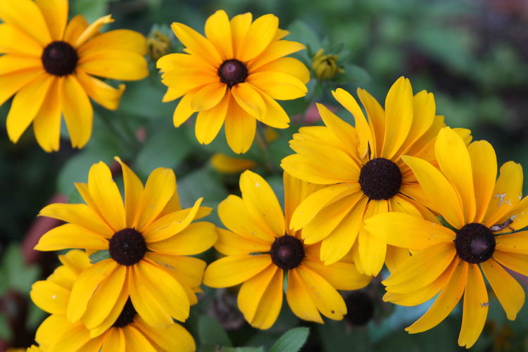 Black-Eye Susan Summer Paint The Town Yellow Beauty In Nature Black-eyed Susan Blooming Close-up Day Flower Flower Head Focus On Foreground Growth Nature No People Outdoors Petal Plant Pollen Yellow