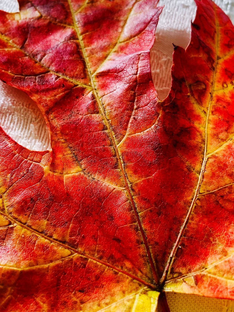 red, close-up, leaf, plant part, autumn, full frame, change, no people, backgrounds, leaf vein, fragility, nature, plant, beauty in nature, vulnerability, natural pattern, drop, dry, pattern, freshness, maple leaf