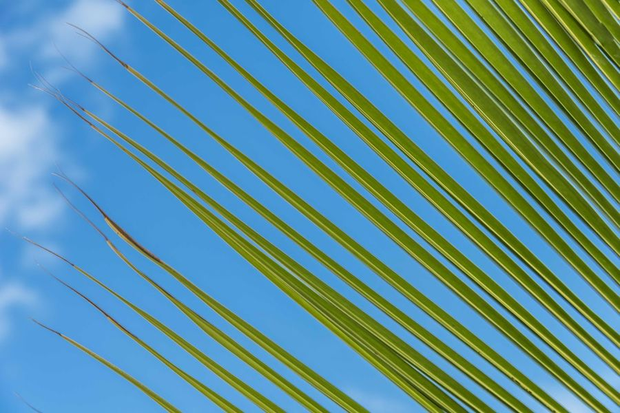 Green lines from a coconut tree at the beach in Bahia, Brazil. Bahia Brazil Coconut EyeEm Selects Green Nature Nature Photography Porto Seguro Backgrounds Coconut Tree Design Green Color Leaf Nature Nature_collection Outdoors Palm Leaf Palm Tree Pattern Texture Tree Breathing Space Investing In Quality Of Life