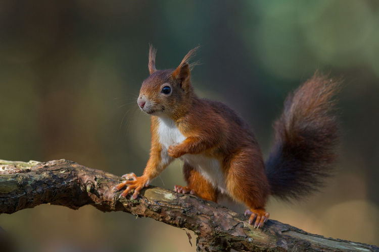 Close-up of red squirrel on tree branch