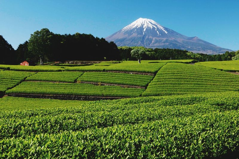 Mountain Nature Field Beauty In Nature Landscape Agriculture Tranquility Tea Crop Day Scenics Growth No People Clear Sky Sky Japan 富士山 Sasabajiyama] sas大淵a笹場淵富士市 Mt.FujiFuji